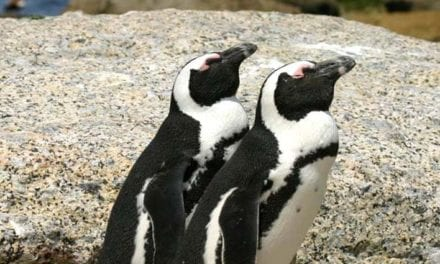 African Penguin numbers declining