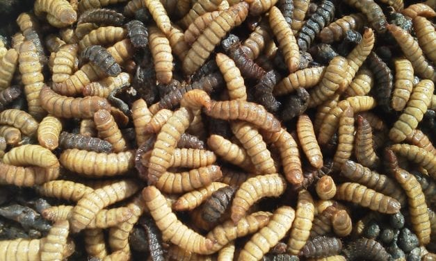 Are maggots the answer to the world's waste problems?