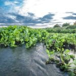 Water hyacinth: blessing or curse?